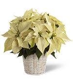 White Poinsettia Basket (Small)